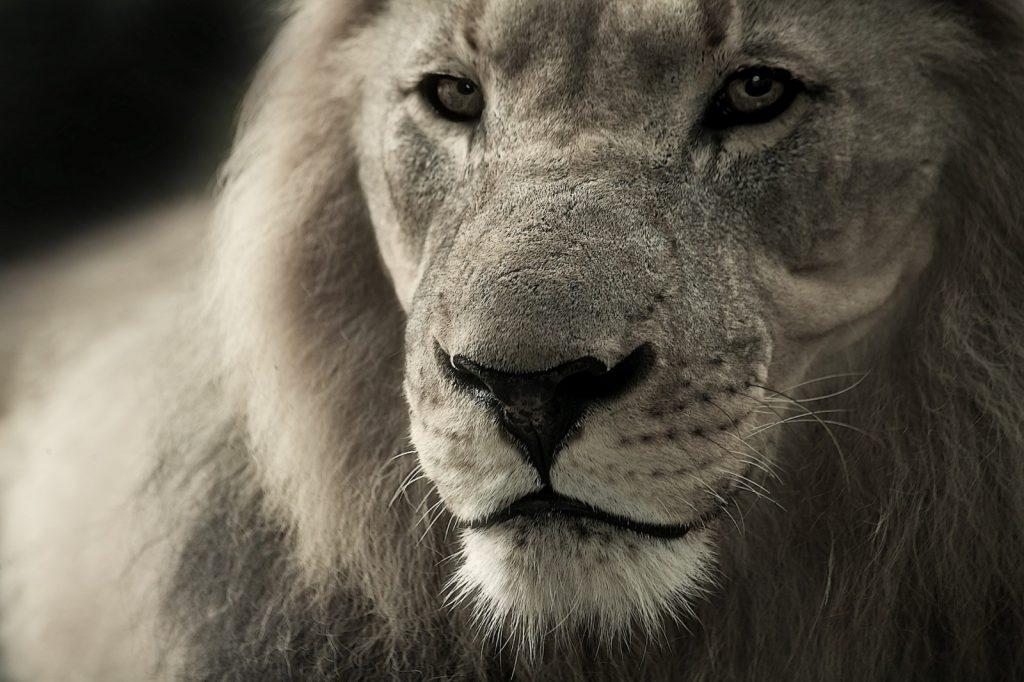 lion-animal-portrait-africa-safari-wild-animal